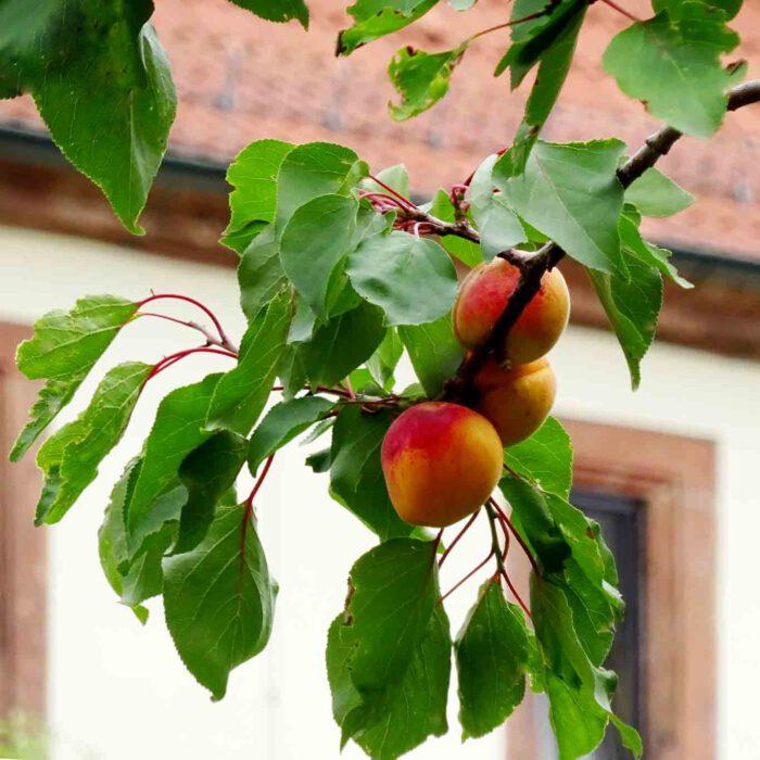 Manche Früchte hängen zu hoch und reifen langsam.