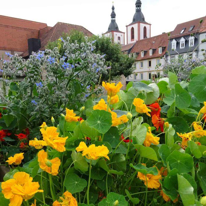 Ein schönes Arrangement von Boretsch und Kapuzinerkresse im Garten der Benediktinerinnen.