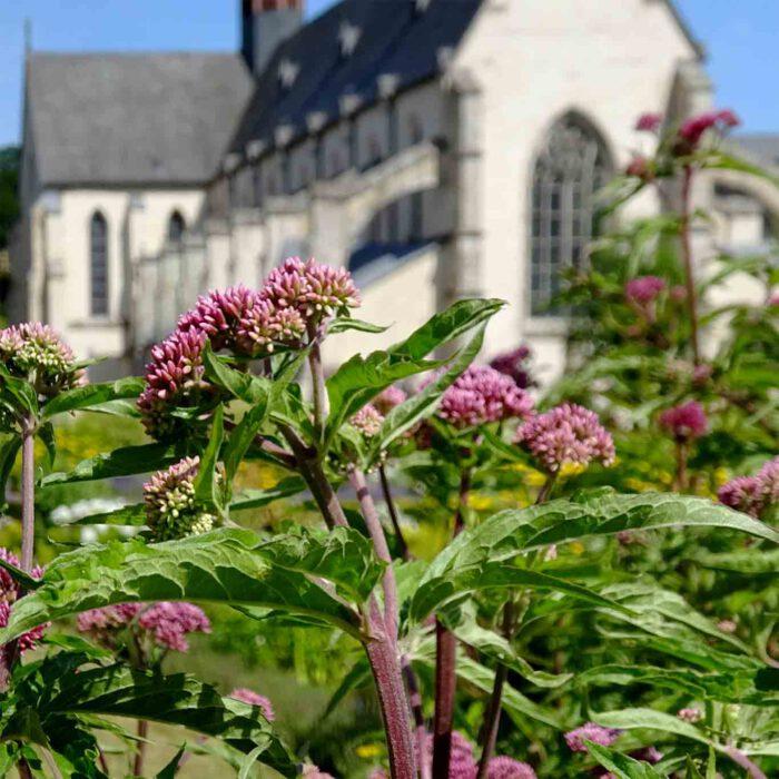 Aufregende Blüten und beruhigende Wurzeln - der Baldrian.