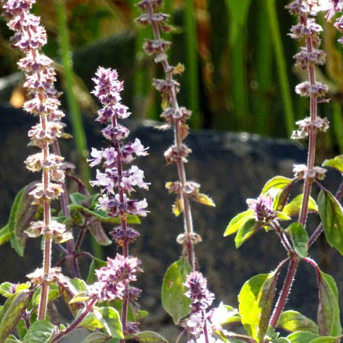 Der Basilikum treibt Blüten.
