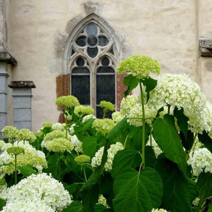 Vor dem alten Gemäuer entfalten die Hortensien ihre volle Pracht.