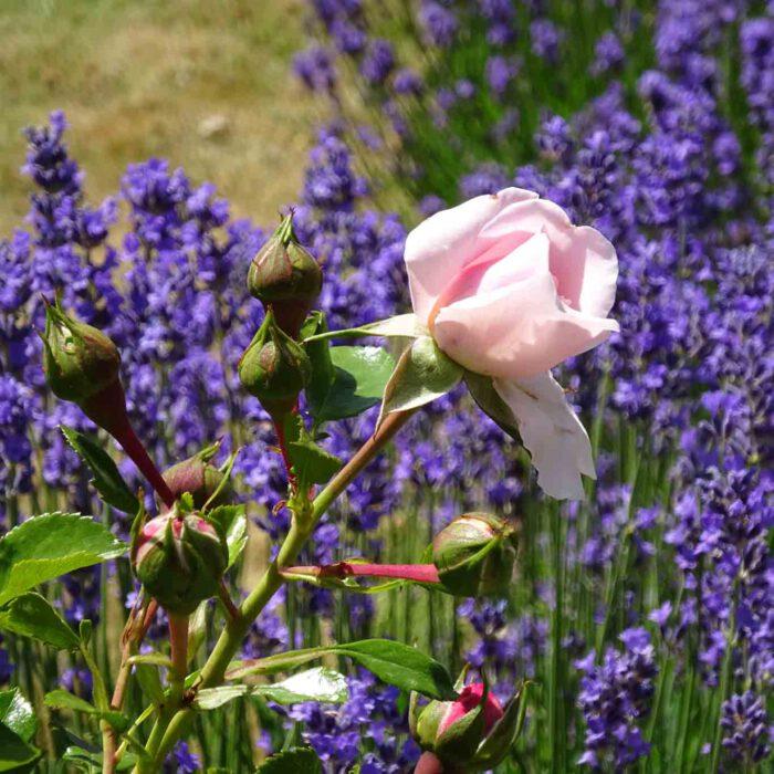 Mariens Blume - der Rose wird in Marienstatt besonders gehuldigt.