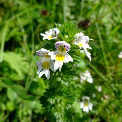 Die kleinen zierlichen Blüten des Augentrostes werden mit dem Auge und dem Unterlied assoziiert.