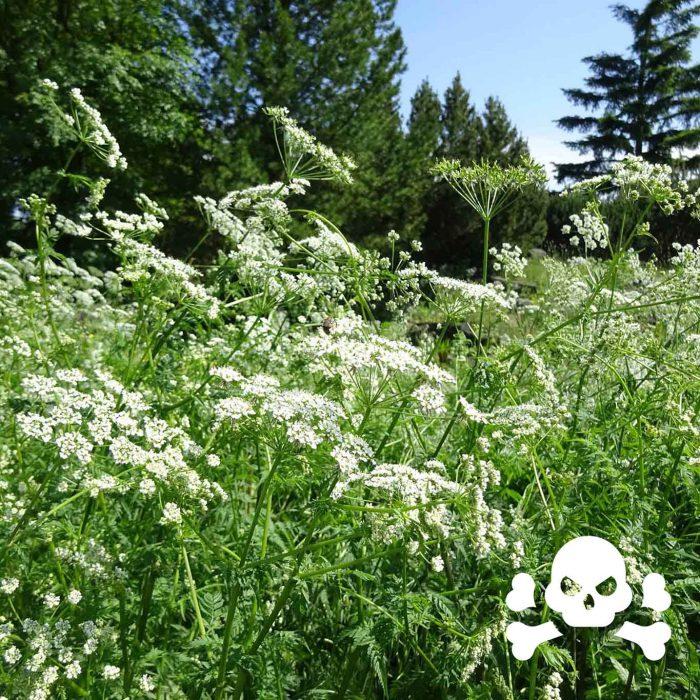 Schierlingskraut (Conium maculatum) gehört zu den Doldenblütengewächsen. Im Altertum wurde zum Tode Verurteilten der Schierlingsbecher gereicht. Seine Giftigkeit ist wohlbekannt!