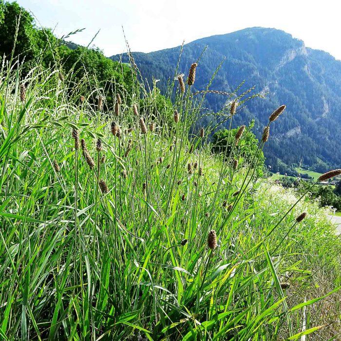 Es ist eine ausdauernde Pflanze, der hustenlindernde Spitzwegerich. Er wächst fast überall und bevorzugt Wiesen.