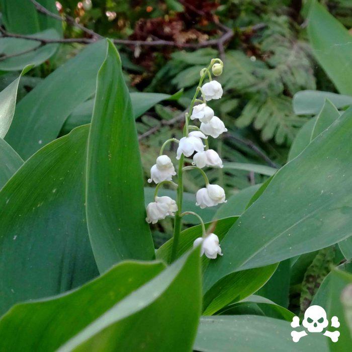 Das Maiglöckchen (Convallaria majalis) ist unverkennbar am Duft seiner Blüten. Ohne die hübschen weissen Blüten sind die Blätter schwer von anderen Pflanzen zu unterscheiden. Die Maiglöckchen sind giftig. Die Pflanzenbestandteile enthalten mehr als 38 Glykoside, die herzwirksam sind. Allerdings aufgrund der äusserst geringen therapeutischen Breite sind sie für den pharmazeutischen Laien nicht nutzbar!