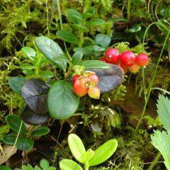 Im Herbst bei voller Reife werden die roten Beeren geerntet. Andere legen die Früchte aus zum Reifen.