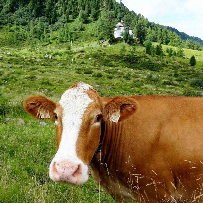 """Von Kühen bewacht thront """"Maria Heimsuchung"""" auf der Stamser Alm."""