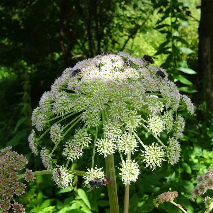 Wald-Engelwurz (Angelica sylvestris)