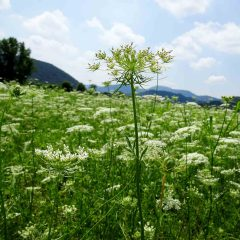 Anis wird in Feldern kultiviert und wildert oftmals aus zum Wiesenanis, dessen Früchte Bauchbeschwerden lindern können.