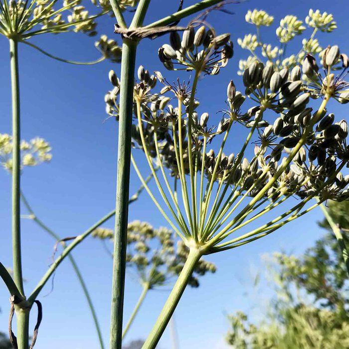 Ähnlich wie beim Kümmel oder Anis trocknen an den Blütendolden die Früchte des Fenchels.