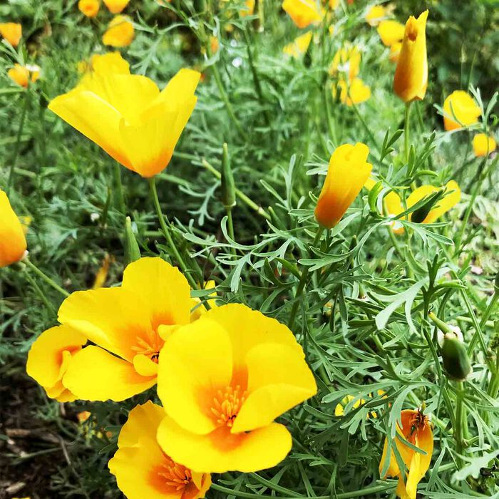 Das Kraut des Goldmohns (Eschscholzia californica) ist ein pflanzliches Schlafmittel.