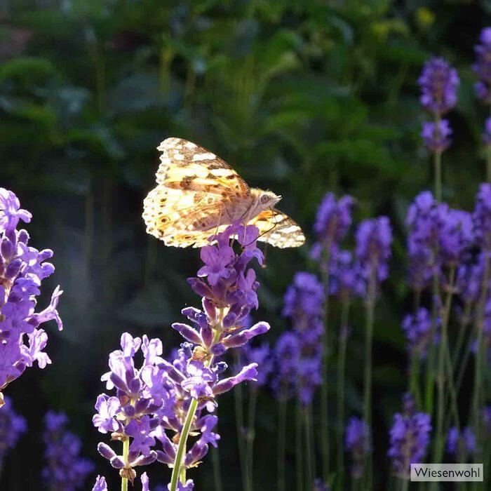 Der duftende Lavendel ist ein beliebter Lande- und Futterplatz für Schmetterlinge.