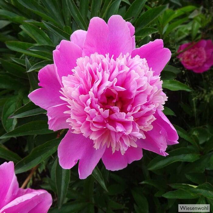 Die ursprünglich aus China stammende Pfingstrose verkörpert in der floralen Symbolik Reichtum, erfüllte Liebe und Heil.