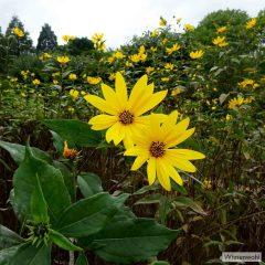 Hoch ragen die goldgelben Sonnensterne der Topinamburblüten empor. Nur dem Kundigen verraten sie ihre nahrhaften Wurzeln.