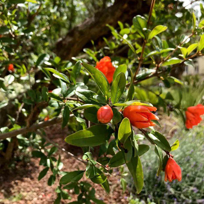 Orientalische Gärten schmücken sich mit den roten Blüten des Granatapfelbaumes.