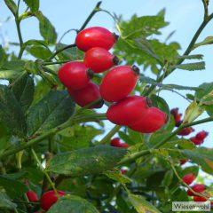 Hagebutten sind die Früchte des Weidenröschenstrauches.