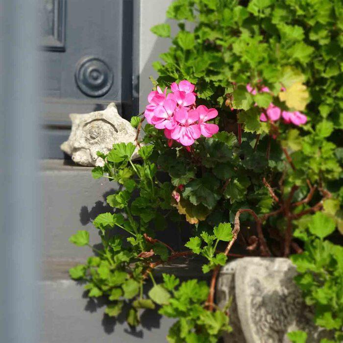 Rosablühende Pelargonien als Vorgartenschmuck auf einer Haustreppe in Övelgönne.