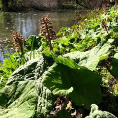 Der Pestwurz ist ein Frühblüher an den Ufern von Gewässern mit riesigen Blättern.