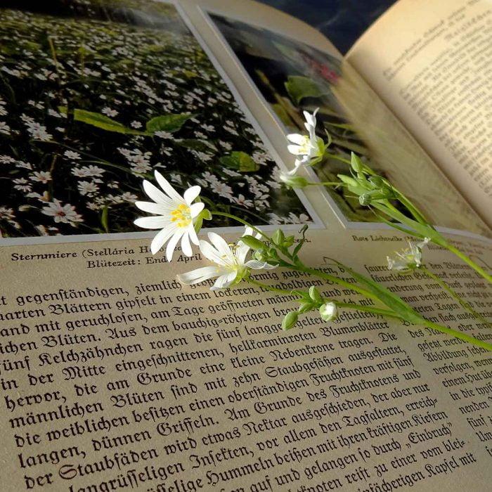 Sternmierenblüte auf altem Pflanzenbuch.