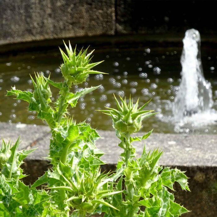 Mariendistel am Brunnen