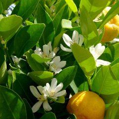Orangenblüten verströmen einen betörenden Duft nach Yasmin.