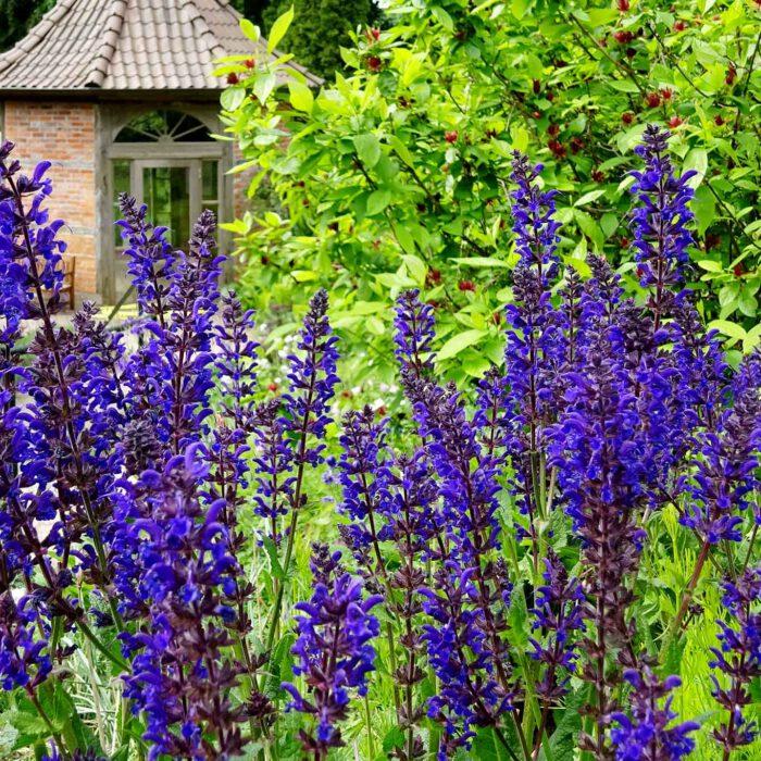Salbeiblüten mit dem Pavillion im Celler Heilpflanzengarten