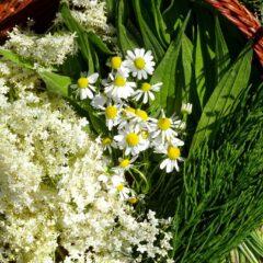 Vorschläge zum Sammeln von Kräutern im Monat Juni: Holunder, Ackerschachtelhalm, Spitzwegerichblätter, Kamillleblüten.
