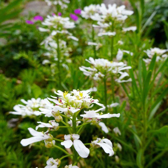Die Bittere Schleifenblume (Iberis amara) wird als Bittermittel gegen Reizmagen und dyspeptische Beschwerden eingesetzt.