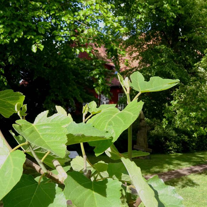 Ein kleiner Feigenbaum gedeiht im Skulpturenpark des Bibelgartens.