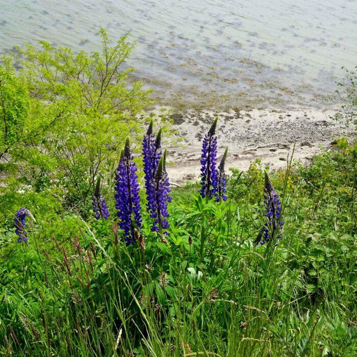 Lupinensamen sind für die Landwirtschaft und die Lebensmittelindustrie gefragte Eiweisslieferanten. Die Früchte der wilde blaue Lupine (Lupinus angustifolius) sind giftig. Für den Anbau werden giftfreie Neuzüchtungen verwendet.
