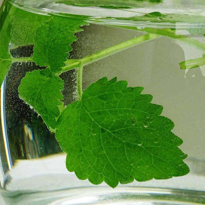 Schon wenige Blätter genügen, um den frischen Geschmack und die ausgleichende Wirkung der Melisse zu spüren.