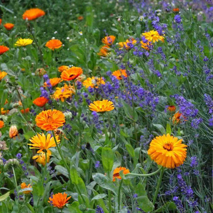 Ringelblumen sind nicht nur ein schöner und leicht zu pflegender Schmuck des Gartens. Es ist die Apotheke des Gärtners.