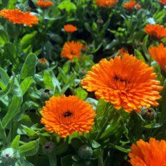 Ringelblumen sollten in keinem Garten fehlen. Ihre Aufzucht ist unkompliziert und die Pflege leicht. Neben Blumenschmuck kann sie für allerlei der Gesundheit zuträgliche Zubereitungen verwendet werden.