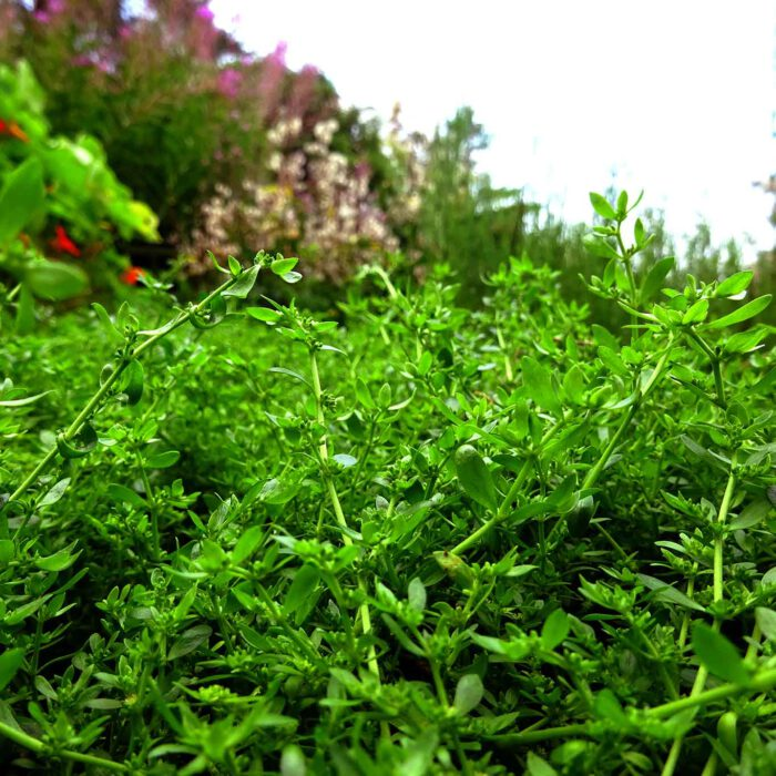 Das Kahle Bruchkraut (Herniaria glabra) könnte man glatt für Unkraut halten, das an kargen Stellen rankt.