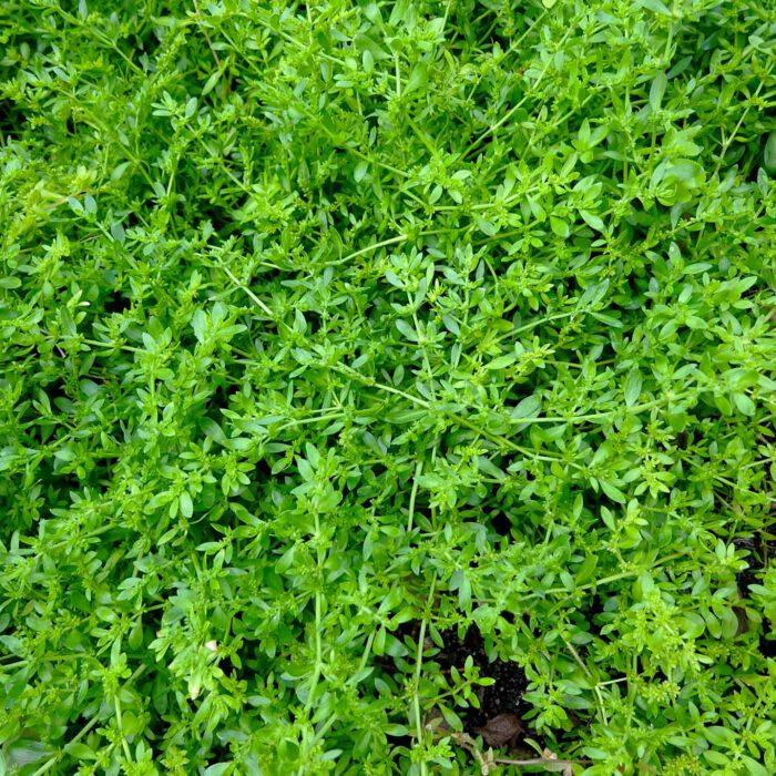 Das Kahle Bruchkraut (Herniaria glabra) ist ein bewährtes Heilkraut für den Bereich des Uro-Genital-Traktes.