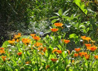 Gartenfreude und eine zuverlässige Heilerin ist die Ringelblume.