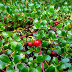 Die Bärentraube (Arctostaphylos uva-ursi) hat Blätter fürs Frauenwohl. Teezubereitungen aus den Bärentraubenblättern sind wirksam bei Harnwegsinfekten.