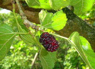 Für die Seidenraupen sind die Blätter als Futter interessant. Die Menschen interessiert das Naschwerk , die Früchte des Maulbeerbaumes.