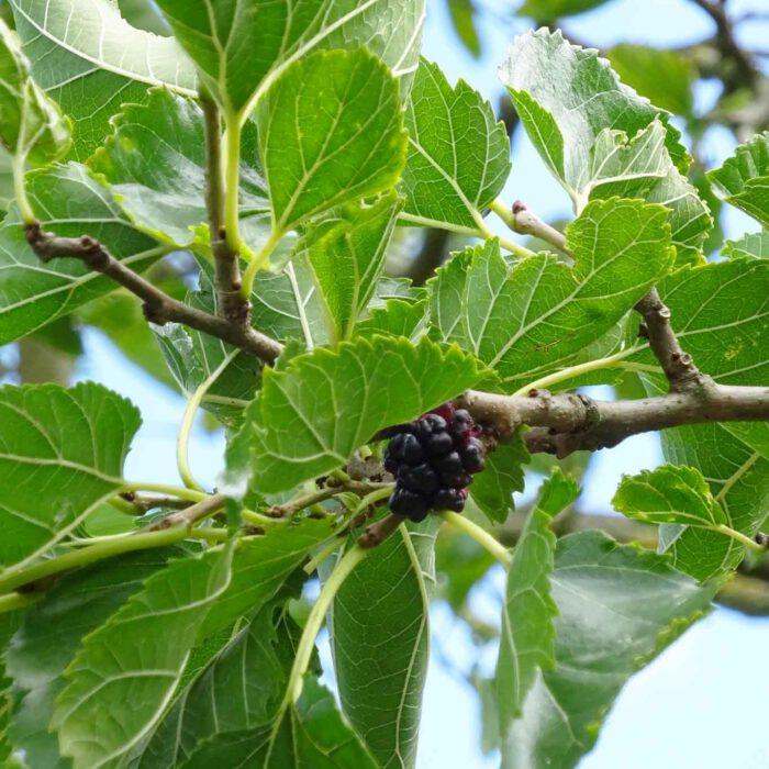 Die Blätter des Maulbeerbaums (Morus folium) sind eine vortreffliche Speise für Seidenraupen. Die süsslichen Früchte wecken die Begehrlichkeiten von alt und jung.