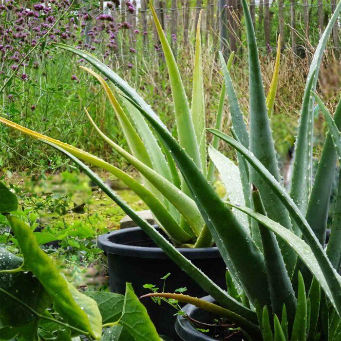 Zwischen den Beeten stehen Kübel mit Aloe Vera.