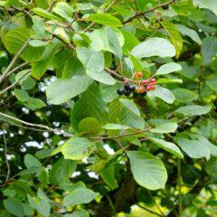 Die Rinde des Faulbaums ist ein natürliches Abführmittel.