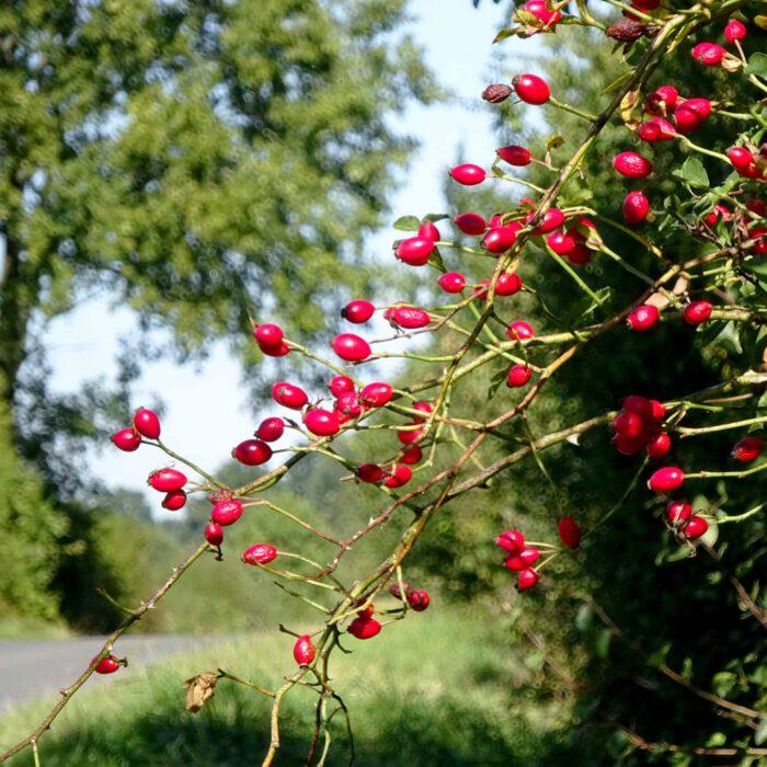 Noch sind die Blätter an den Bäumen. Die Hagebutten leuchten rot. Es ist Frühherbst.