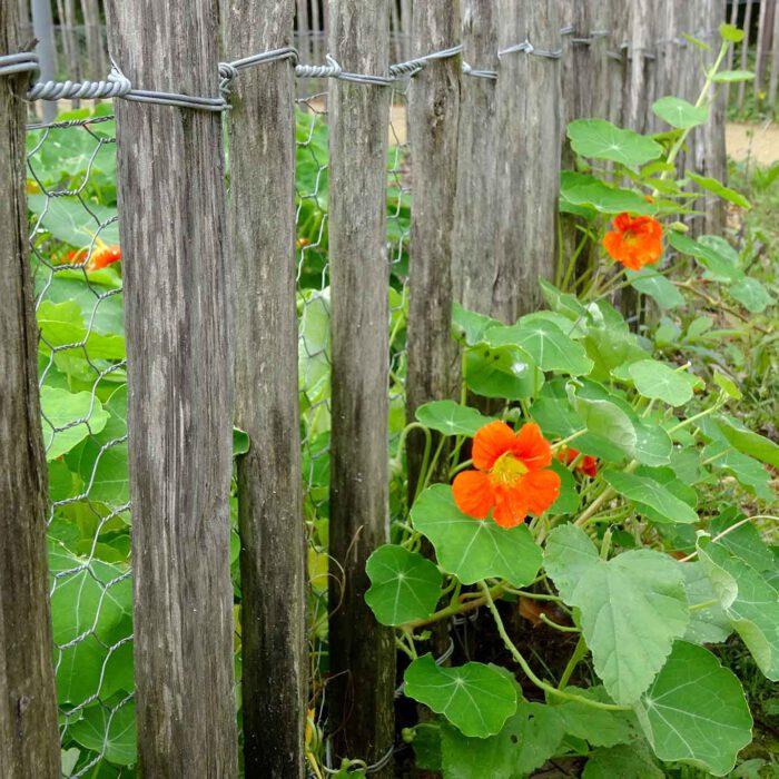 Die Kapuzinerkresse ist kaum zu halten. Sie wuchert durch den Gartenzaun.