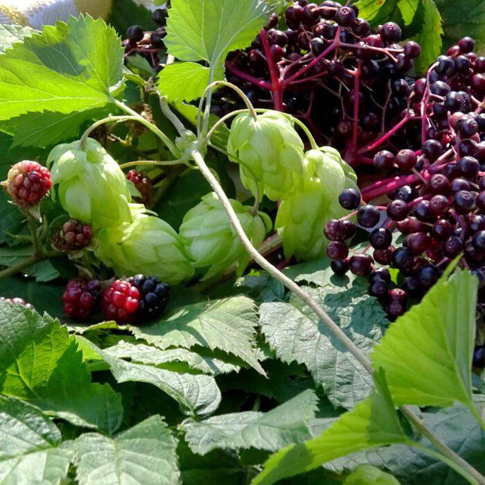 Im Kräutersammelkorb für den Monat September finden sich: Himbeerblätter, Brombeerblätter, Hopfen und Holunderbeeren.