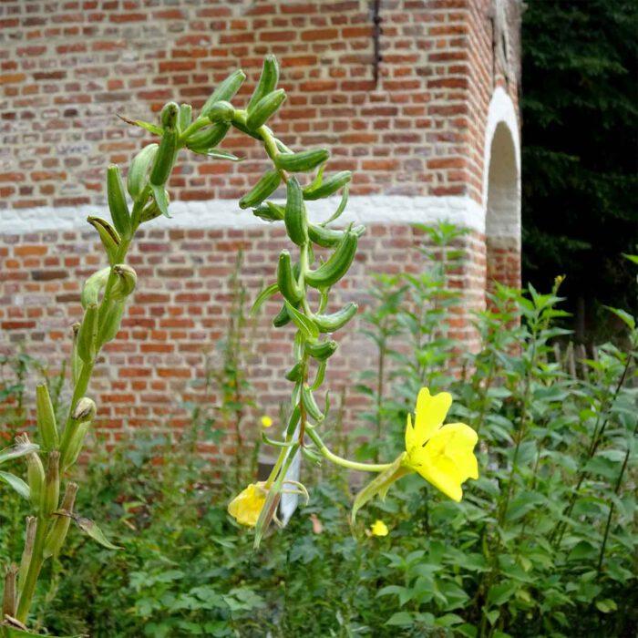 Tief verbeugt sich die Nachtkerze vor den Besuchern des Heilpflanzengartens.