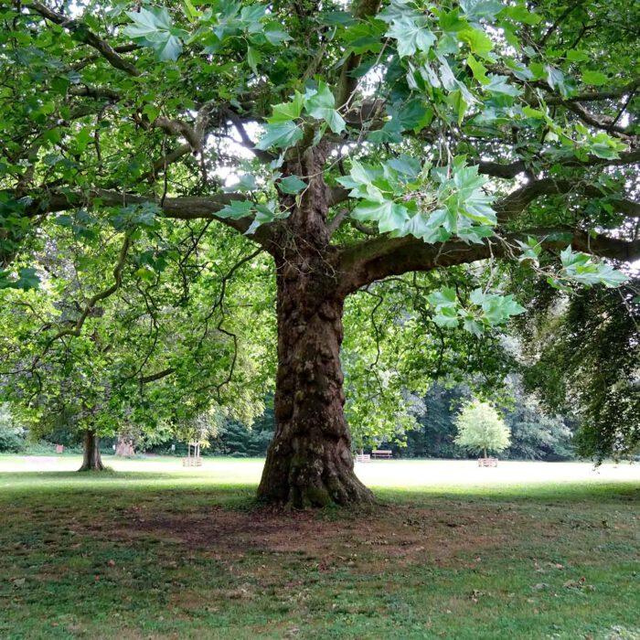 Platane mit Schatten im Park Abbaye du Val Dieu