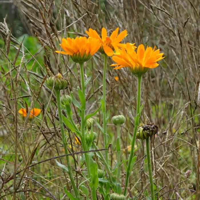 Ringelblumen sind das Nonplusultra eines jeden Heilpflanzengartens.