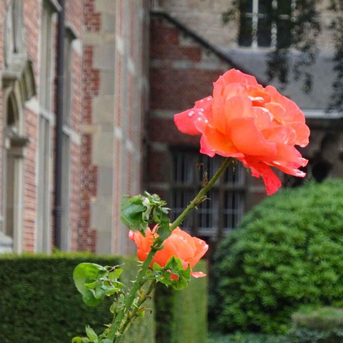 Eine der letzten Rosen des Spätsommers im Park der Abdji Postel.