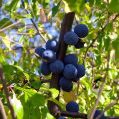 Reife Schlehen sehen aus wie kugelrunde Minipflaumen. Die adstringierende Wirkung der Früchte schmeckt man sofort.